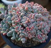 재촬영!!사이즈좋은东美人缀化|Pachyveria pachyphytoides Walth