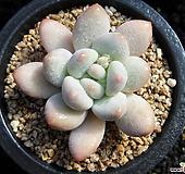 후레뉴0322|Pachyphtum cv Frevel