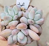 후레뉴群生|Pachyphtum cv Frevel