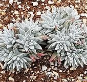 화이트그리니 8103-4809 Dudleya White gnoma(White greenii / White sprite)