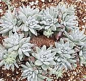 화이트그리니 8103-4810 Dudleya White gnoma(White greenii / White sprite)
