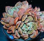 홍가시후레뉴74|Pachyphtum cv Frevel