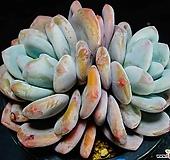 丸葉후레뉴91|Pachyphtum cv Frevel