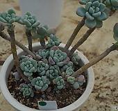 (3月)라울g1|Sedum Clavatum