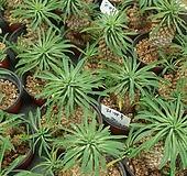 [꽃대통령]괴마옥 선인장 / 다육식물|Euphorbia hypogaea