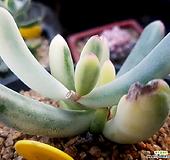 원종복랑금(빨간선 아래로 길게 잘라보내요) 컷팅판매|Cotyledon orbiculata cv variegated