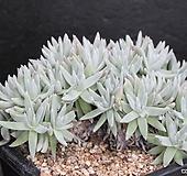 두들레야화이트그리니-3-7523 Dudleya White gnoma(White greenii / White sprite)
