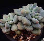 후레뉴錦_y57|Pachyphtum cv Frevel