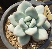 弗雷费尔-45|Pachyphtum cv Frevel