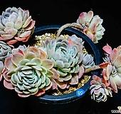 트윈베리自然58|Echeveria Twin Berry
