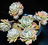 트윈베리自然59|Echeveria Twin Berry