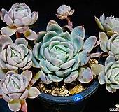 日本蓝서프라이즈hy自然88|Echeveria Blue Surprise