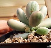 방울복랑금5두이상(자연군생) Cotyledon orbiculata cv variegated