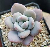 丸葉후레뉴(131)ㅡ老庄|Pachyphtum cv Frevel