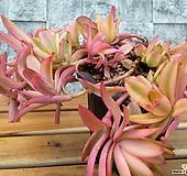 크라슐라火祭錦大品|Crassula Americana cv.Flame