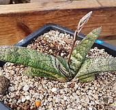 바테시아나금_16(Gasteria Batesiana variegated)|