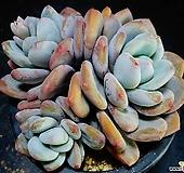 丸葉후레뉴68|Pachyphtum cv Frevel