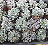 오팔리나 Graptoveria Opalina