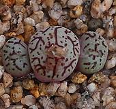 위트버젠스군생한몸(최상급) Conophytum Wittebergense