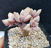 담설(36)ㅡ자연5두 Graptopetalum Paraguayensis Awayuki