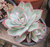 블루라이트|Echeveria Blue Light