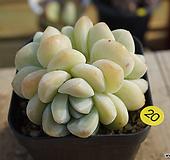 老庄冰玉|Echeveria Ice green
