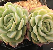 双贝瑞213339 Echeveria Twin Berry