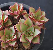 罗西马美丽莲群生,2018.04/21|Echeveria longissima