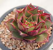 6554.罗西马|Echeveria longissima