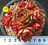 121罗西马|Echeveria longissima