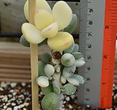 乒乓福娘锦(뿌리튼튼)|Cotyledon orbiculata cv variegated