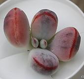 乒乓福娘锦컷팅|Cotyledon orbiculata cv variegated