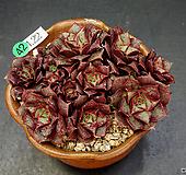 罗西马벨바라-13头(4.22)|Echeveria longissima