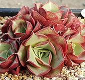 原始种罗西马8404-3114|Echeveria longissima