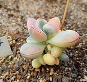 乒乓福娘锦自然群生5(5头이상)|Cotyledon orbiculata cv variegated