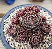 丸葉罗西马10头自然群生|Echeveria longissima