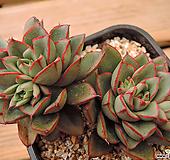 罗西马杂交(12)|Echeveria longissima hyb