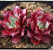 罗西马|Echeveria longissima