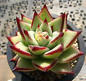 卡罗拉&乌木交配宗0425|Echeveria colorata