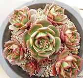 환엽롱기시마 19-69 Echeveria longissima