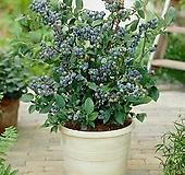 열매열린 선샤인블루 블루베리 대품♥가정재배 최적화 품종♥블루베리나무 묘목|