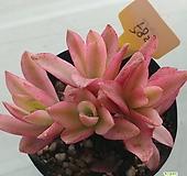 火祭錦582|Crassula Americana cv.Flame