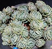 双贝瑞70 Echeveria Twin Berry