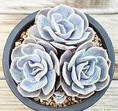 蓝色惊喜|Echeveria Blue Surprise