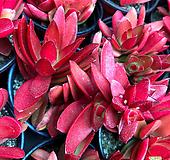 火祭(이색분)|Crassula Americana cv.Flame