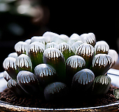 도도손(OB-1) -4-15-No.잎이 크고 맑은창에 짙은 자색으로 단풍이 듭니다.|