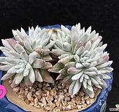 老庄桩格诺玛 Dudleya White gnoma(White greenii / White sprite)