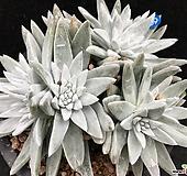 格诺玛9头紫心 Dudleya White gnoma(White greenii / White sprite)