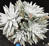 格诺玛10头紫心 Dudleya White gnoma(White greenii / White sprite)