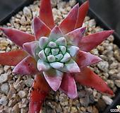 格诺玛0518-465 Dudleya White gnoma(White greenii / White sprite)